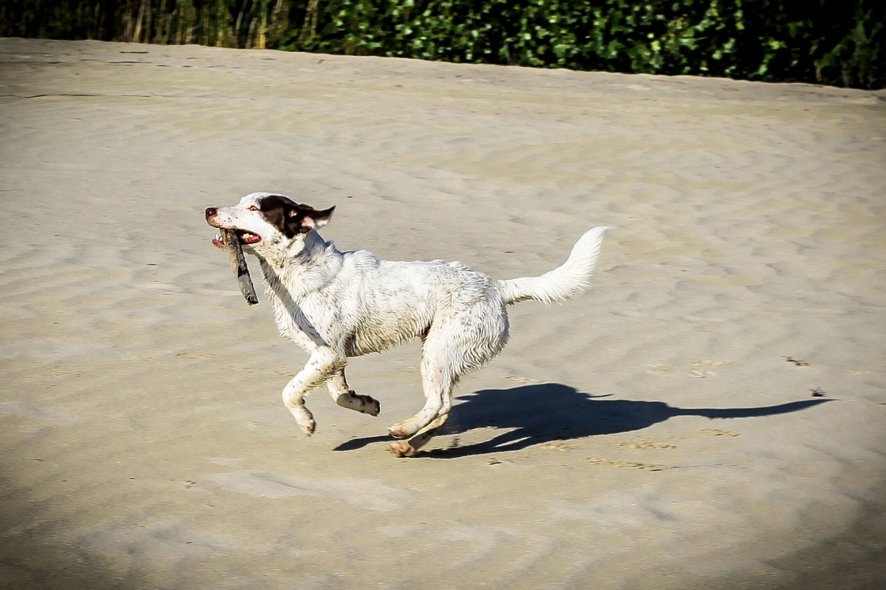 Action Activity Animal Themes Companion Day Dog Domestic Animals Enjoying Life Freedom Happiness Mammal Nature No People One Animal Outdoors Pet Pet Photography  Pets Running Sand Speed Summer
