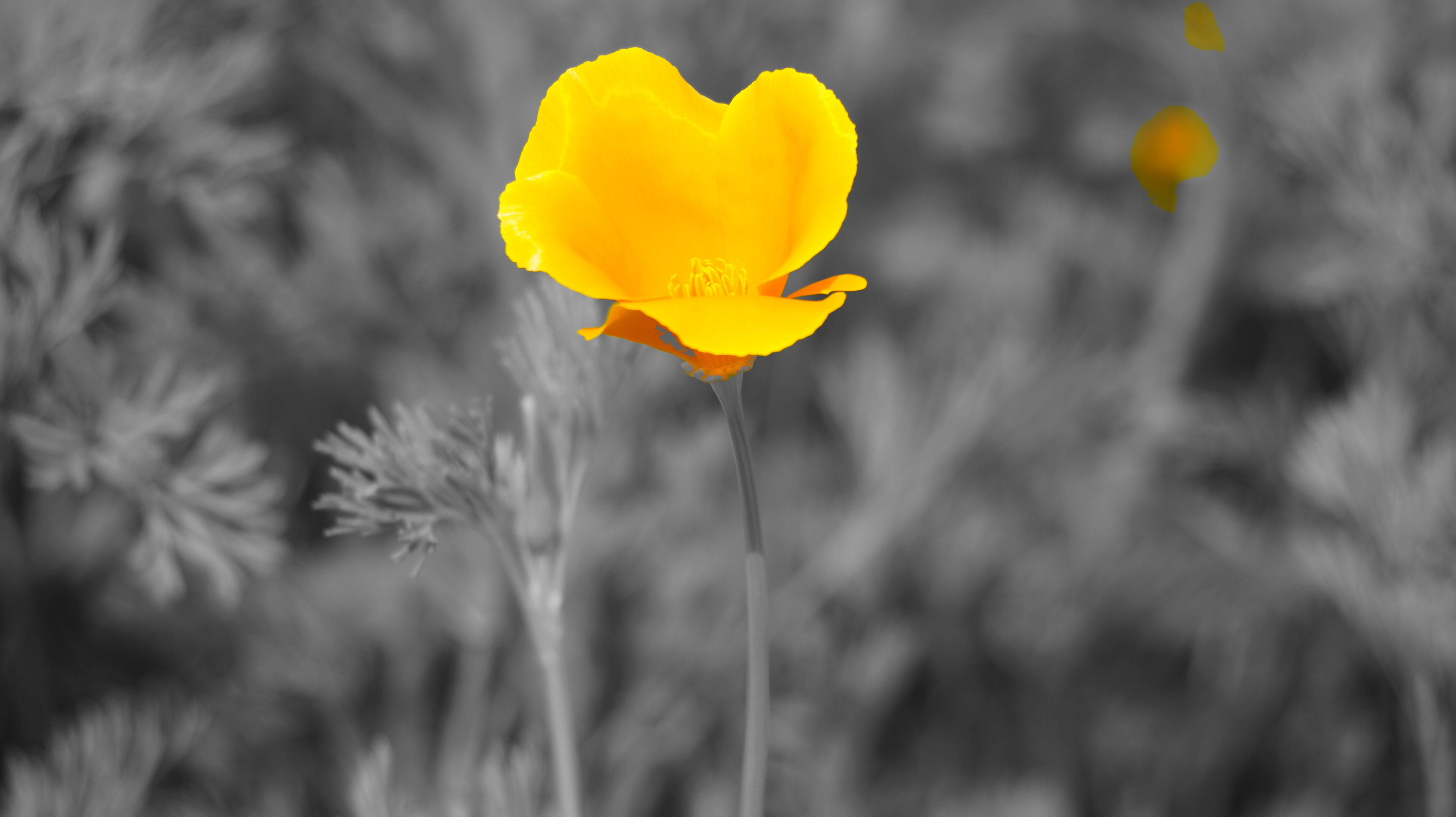 yellow, flower, petal, fragility, focus on foreground, growth, close-up, beauty in nature, freshness, flower head, nature, plant, blooming, stem, selective focus, field, outdoors, in bloom, no people, day