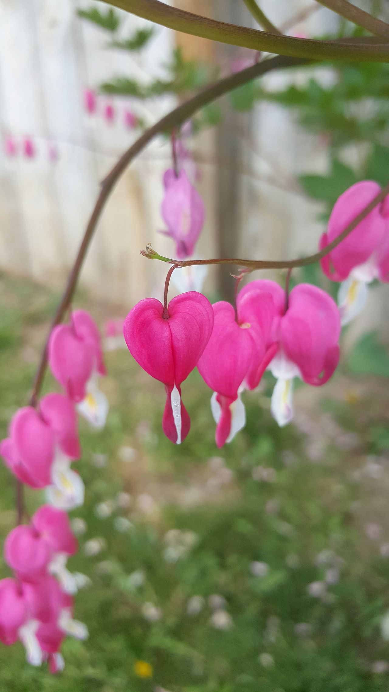 Bleeding Hearts 💗 Flower Pink Color Nature Beauty In Nature Plant Petal Outdoors No People Day Front Or Back Yard Close-up Springtime Fragility Growth Freshness Bleeding Heart  Lovely Pollen