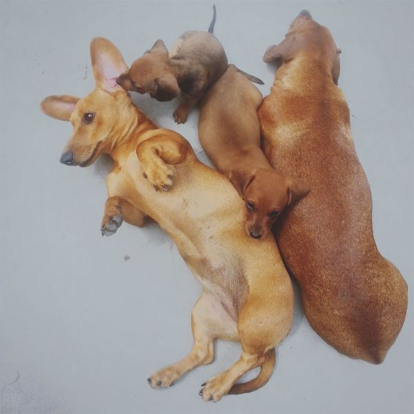 Meus 🐾 Dogs Dogslife Duchshund Familydogs Pet Pet Photography  Ilovepets Lovedogs Dogstagram