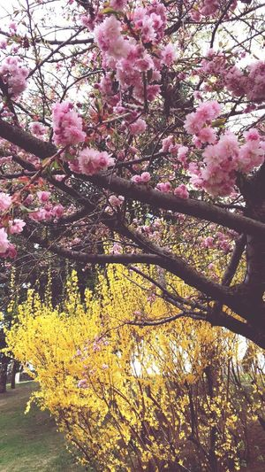 Flower Tree Blossom Growth Beauty In Nature Nature Springtime Pink Color Fragility Branch Freshness No People Botany Day Outdoors Low Angle View Spring Blooming Close-up Flower Head Yellow EyeEm Diversity