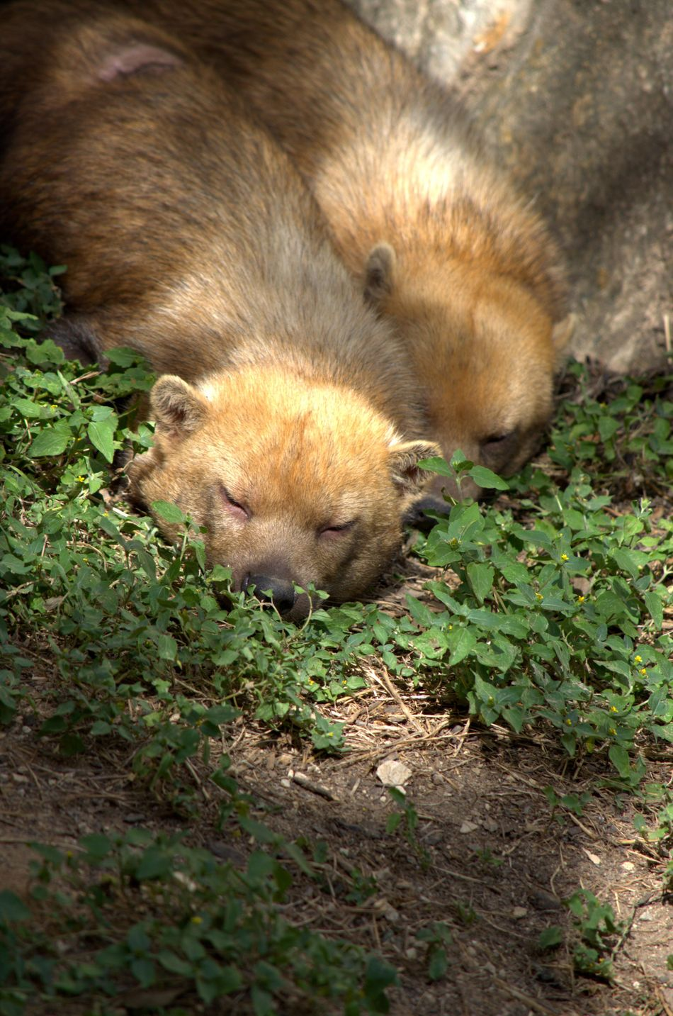 Bush Dog Outdoors Animal Wildlife San Antonio, Texas San Antonio Zoo Canine Sleeping Animal