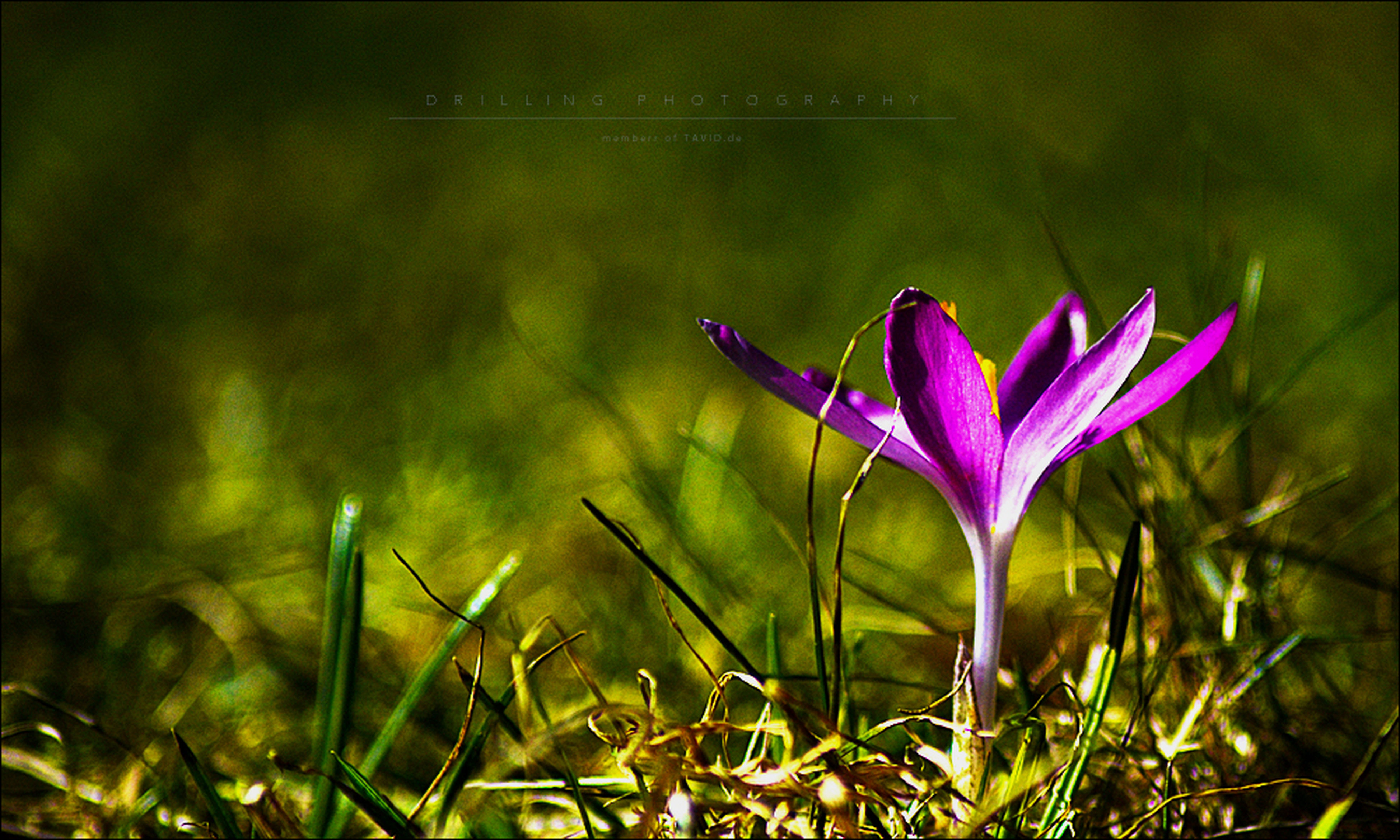 flower, freshness, growth, fragility, beauty in nature, petal, plant, nature, stem, focus on foreground, purple, blooming, pink color, flower head, close-up, field, leaf, day, outdoors, no people