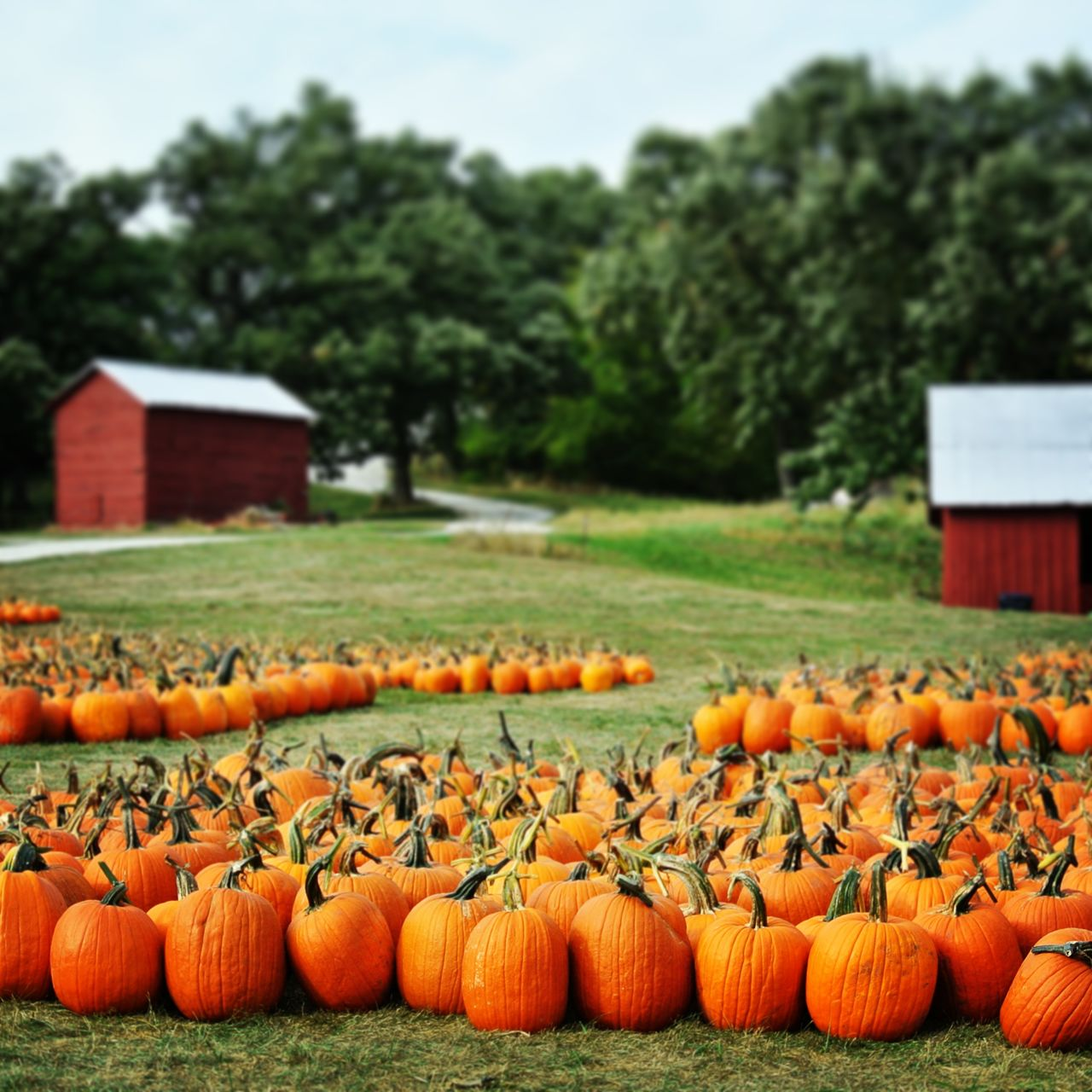 Beautiful stock photos of pumpkin, Architecture, Built Structure, Day, Farm