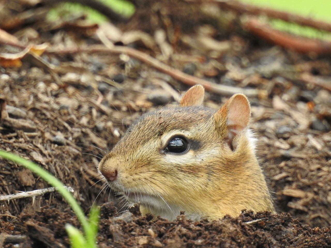 Chipmunk Chipmunk Close-up Chipmunk Photography Chipmunkface Chipmunks  Close-up Cuteness Cuteness Overload Cutenessoverload Day Focus On Foreground Grass Nature Nature Nature Photography Nature_collection Naturelovers No People Outdoors Wild Animal Photography Wildlife Wildlife & Nature Wildlife And Nature Wildlife Photography Wildlife Photos