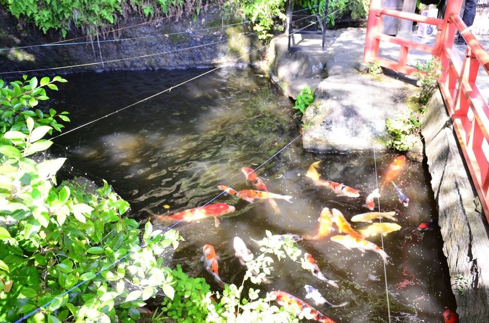 Zeniarai Benzaiten Ugafuku Shrine Dappled Carp