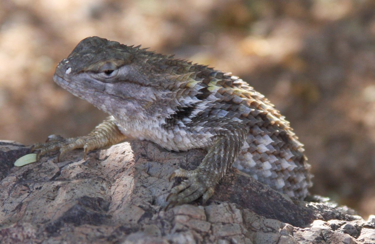 Lizard, collared lizard, lizard with scales