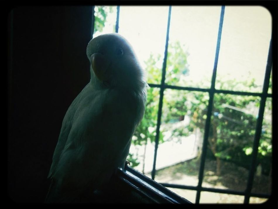 Pet Philippines AngryBird Iboh