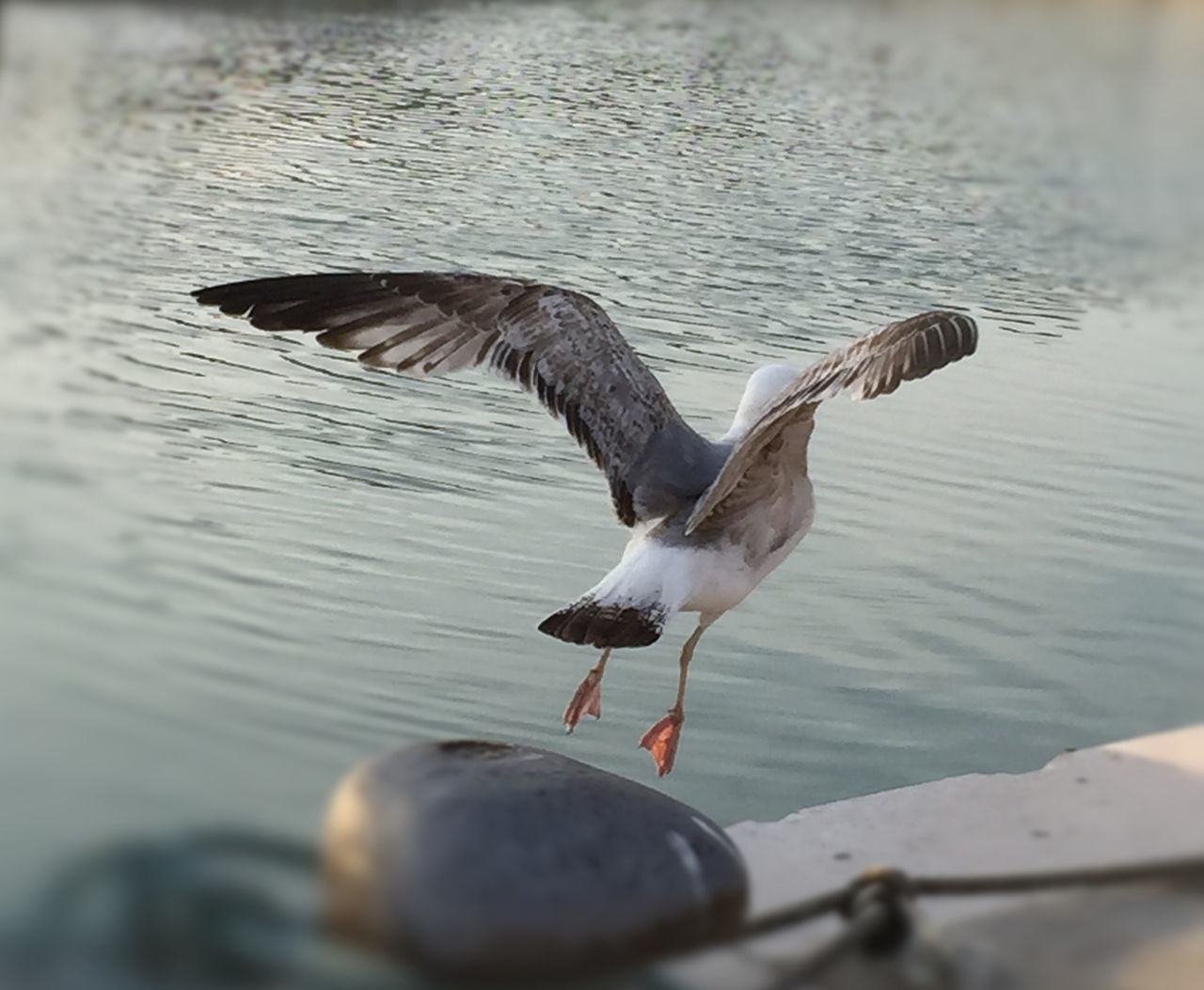 Flying away Bird Day Flying No People One Animal Outdoors Seagull Sfocatura Spread Wings Water