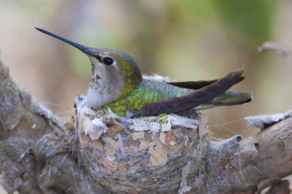 Beautiful stock photos of hummingbird, Animal Themes, Animals In The Wild, Beauty In Nature, Birds Nest
