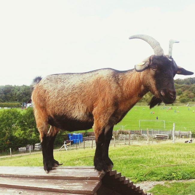 Goat On Roof Hanging Out Having Fun Hello World Relaxing