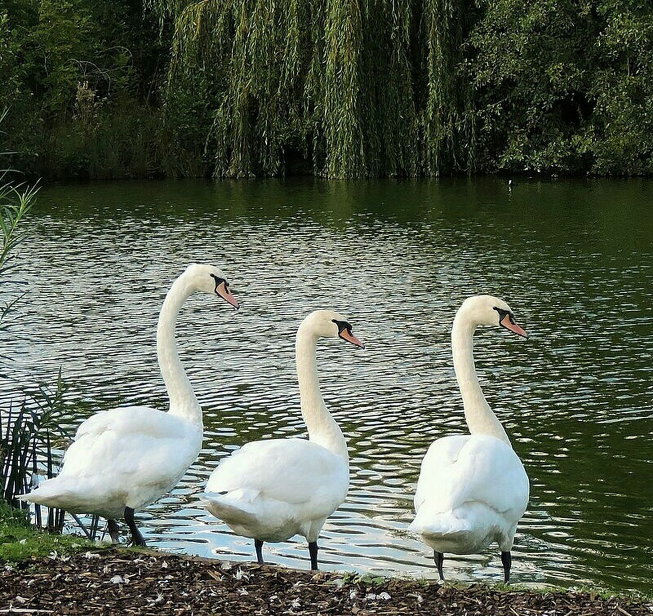 Taking Photos Hello World Enjoying Life Beautiful Nature Naturelovers Bird Photography EyeEm Birds Birdwatching Upcloseandpersonal Outandabout Rural Landscape Water Reflections Waterscape Swans White Swan Swansrulethelake Beauty In Nature Beautiful Place