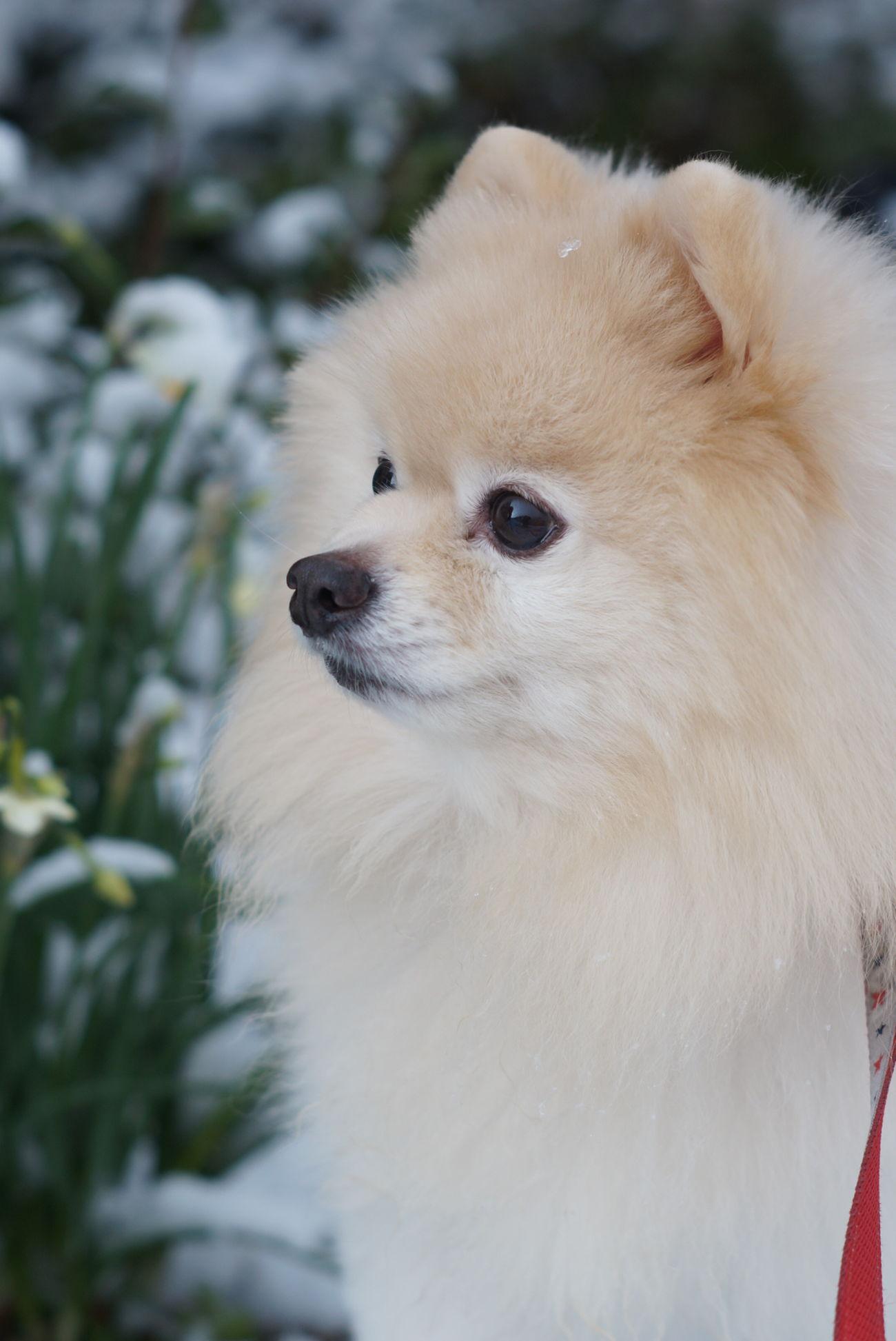 ポメラニアン Oldlens Mylovelydog EyeEm Dogs Nofilter Snow Sony Nex-5t Minolta58mmf14 オールドレンズ Pomeranian 雪 散歩