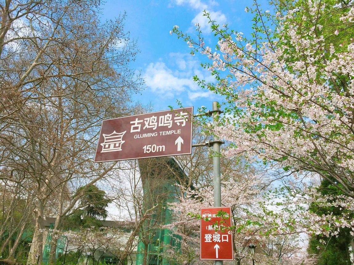 Jiming Temple,March,Sakura. Jiming Temple Nanjing Sakura Nature Pink Spring March China Street Flowers Trees