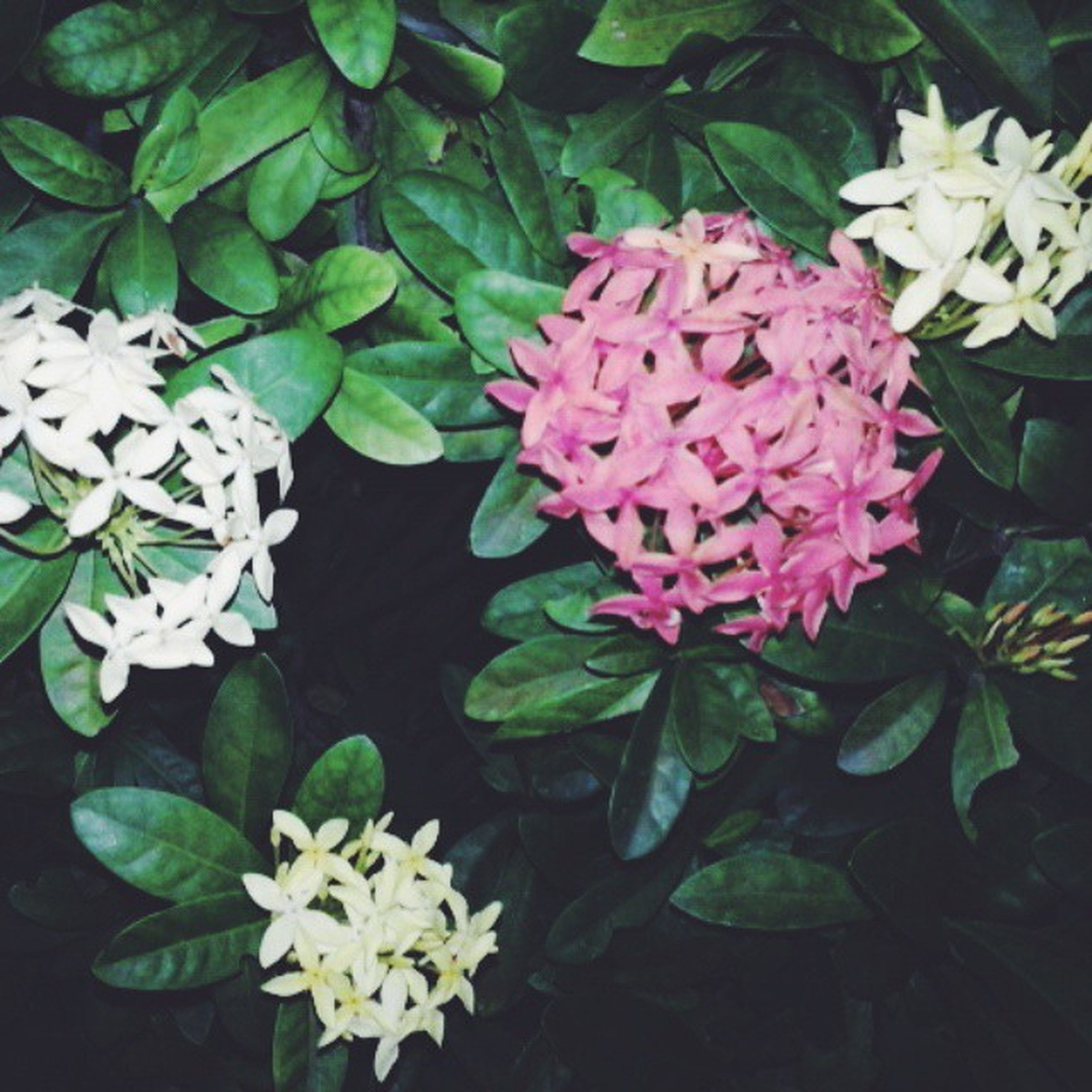flower, freshness, petal, fragility, flower head, growth, beauty in nature, leaf, blooming, white color, plant, nature, high angle view, in bloom, close-up, blossom, botany, bunch of flowers, pink color, park - man made space