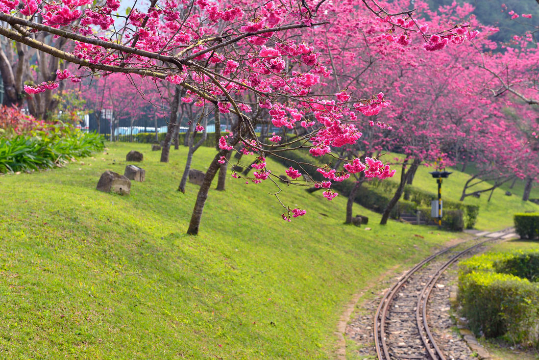 Animal Themes Beauty In Nature Blossom Branch Day Flower Fragility Freshness Grass Growth Kimono Mammal Nature No People Outdoors Pink Color Scenics Sky Springtime Tree 九族文化村 旅行 櫻花 草地 鐵道