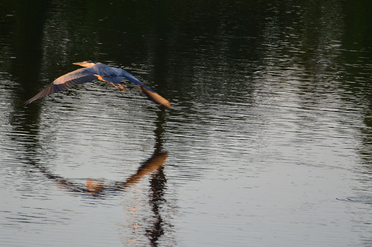 The Heron Circle. Great Blue Heron Flying
