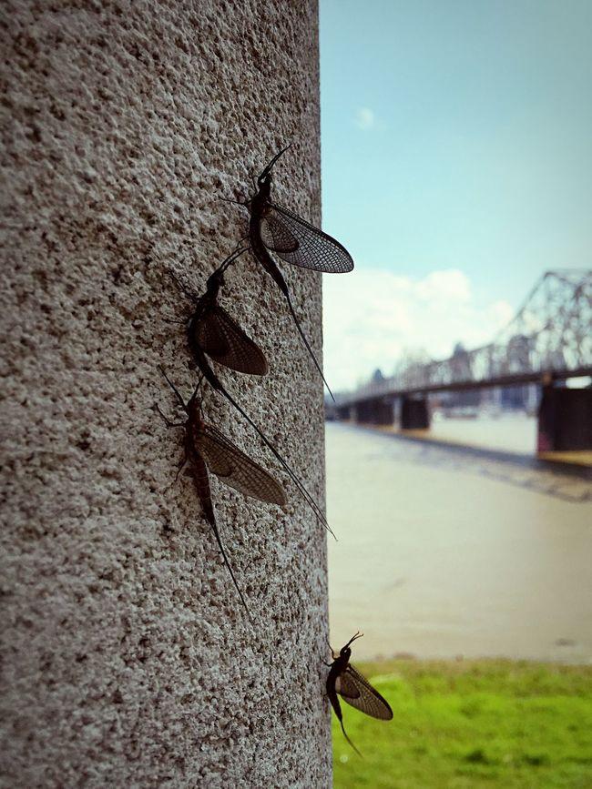 Mayflies Bridge River Riverside Louisville Fly Bugs Blue Sky Blue IPhoneography
