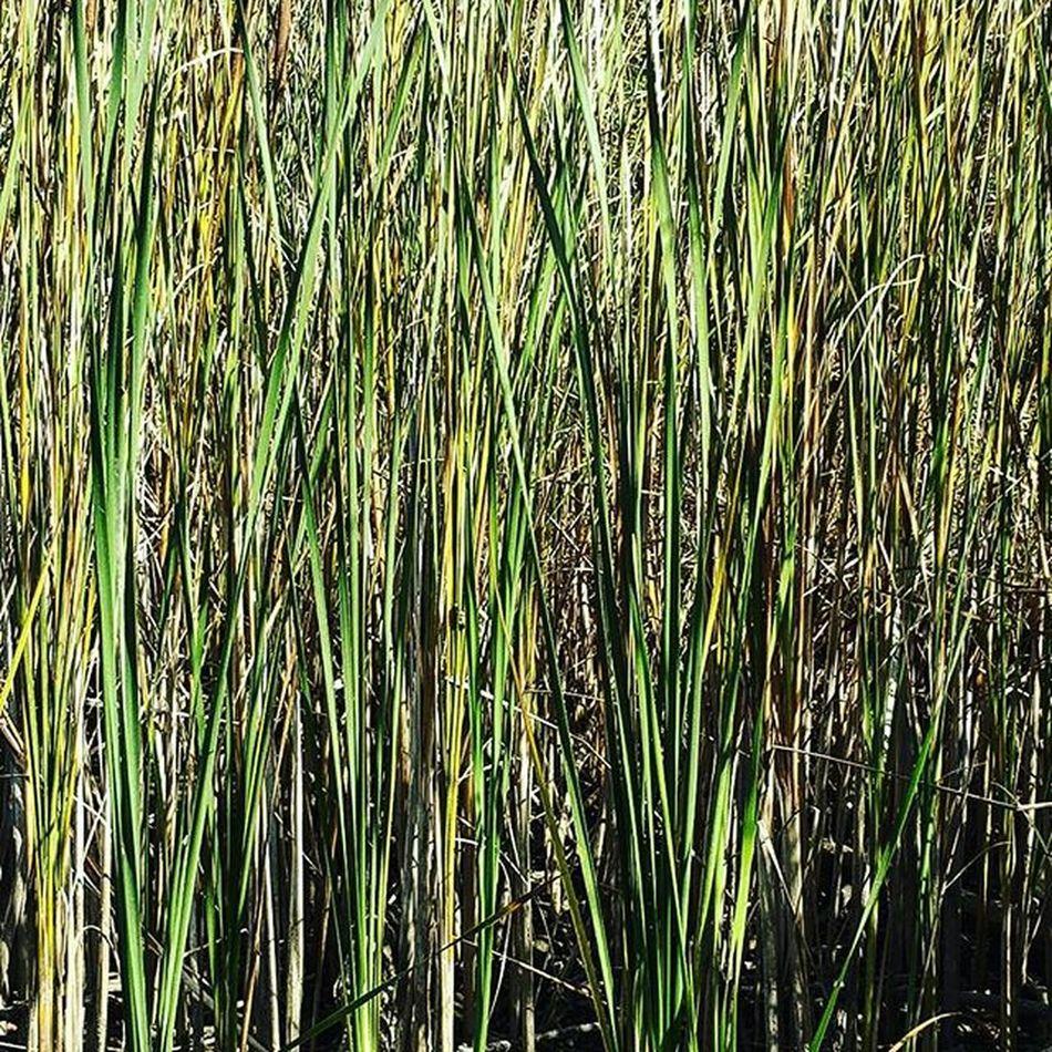 Cattails Reeds Grasses Green Texture Lines Cattails Pennsylvania Visual Lakegalena Peacevalley Lakeside Lake Greens