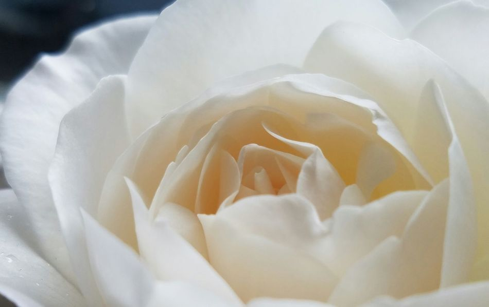 Natural Light EyeEm Best Shots Full Frame Growth Beauty In Nature Petal Macro Freshness Abstract Vitality Flower Meditation White Roses Roses Fine Art Photography White Color Pattern, Texture, Shape And Form Check This Out Copy Space Freshness Tranquility Softness White On White Fragility Extreme Close-up