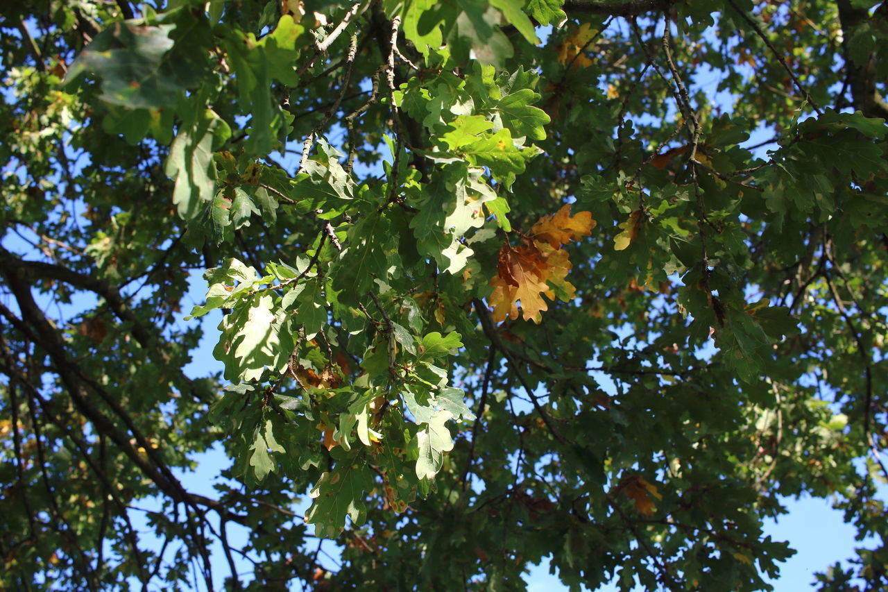 Autumn Beauty In Nature Blue Sky Day Forest Fruit German Oak Green Color Growth Leaf Low Angle View Nature No People Oak Oak Tree Outdoors Sky Tree