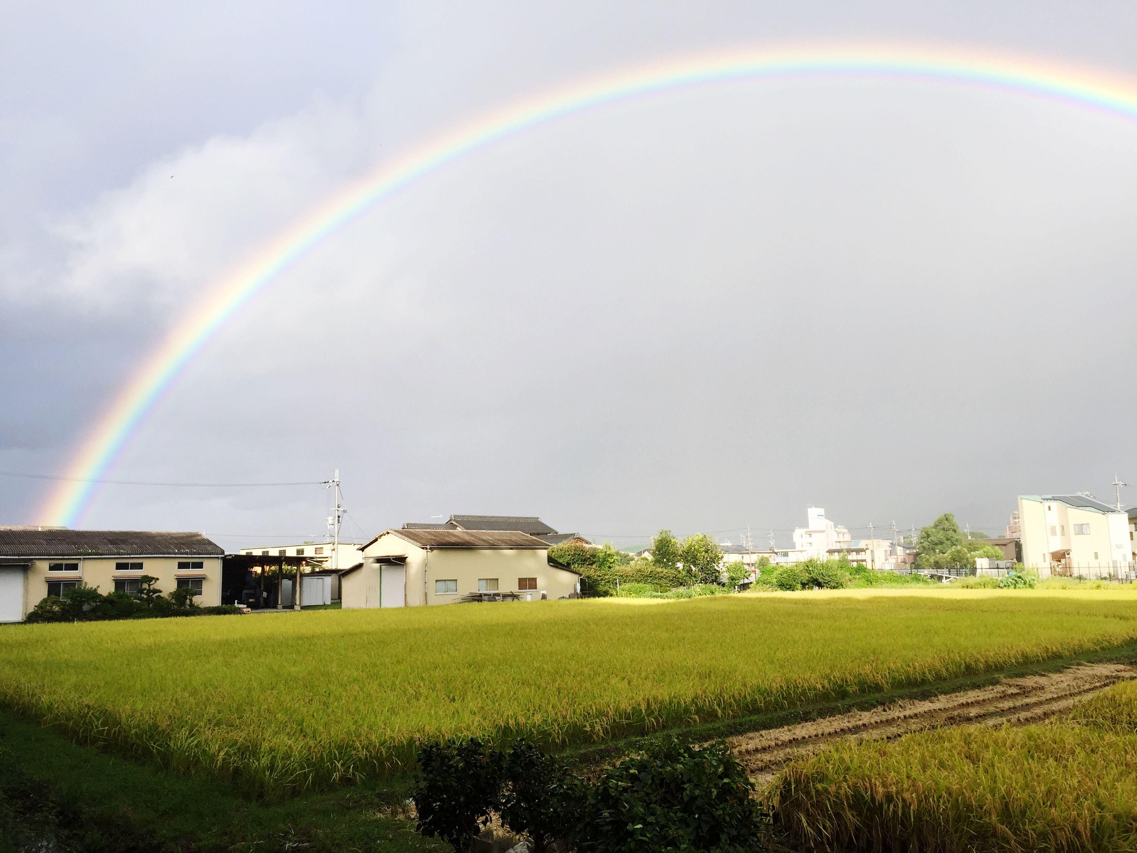 自宅マンション前の田んぼです。虹が綺麗なカーブを描いて🌾稲穂を囲んでいます。