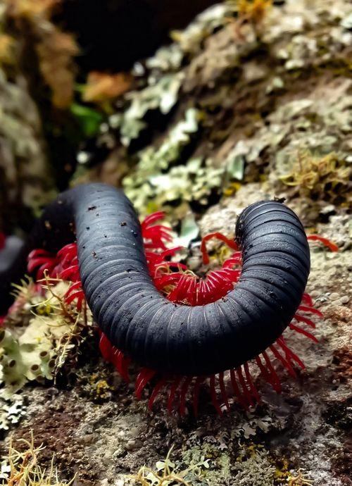 Nature Outdoors Animal Wildlife Centipede Tausendfüssler Red Black Macchu Picchu Peru
