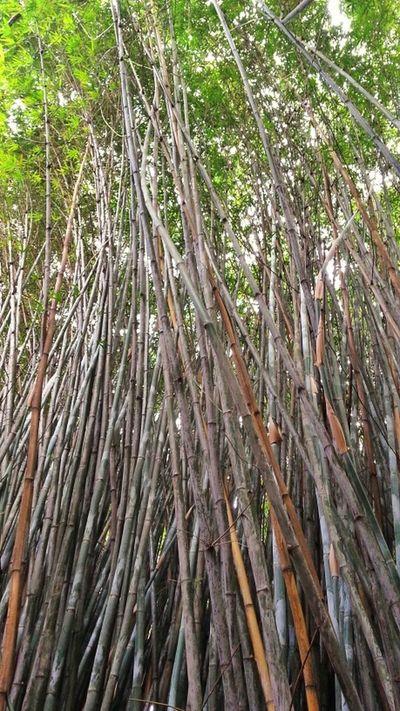 Nature Bamboo Bambus Bambu