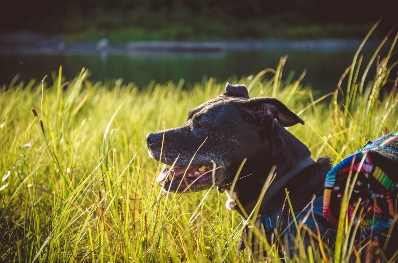 Side View Of Dog Carrying Rolled Mat On Grassy Field