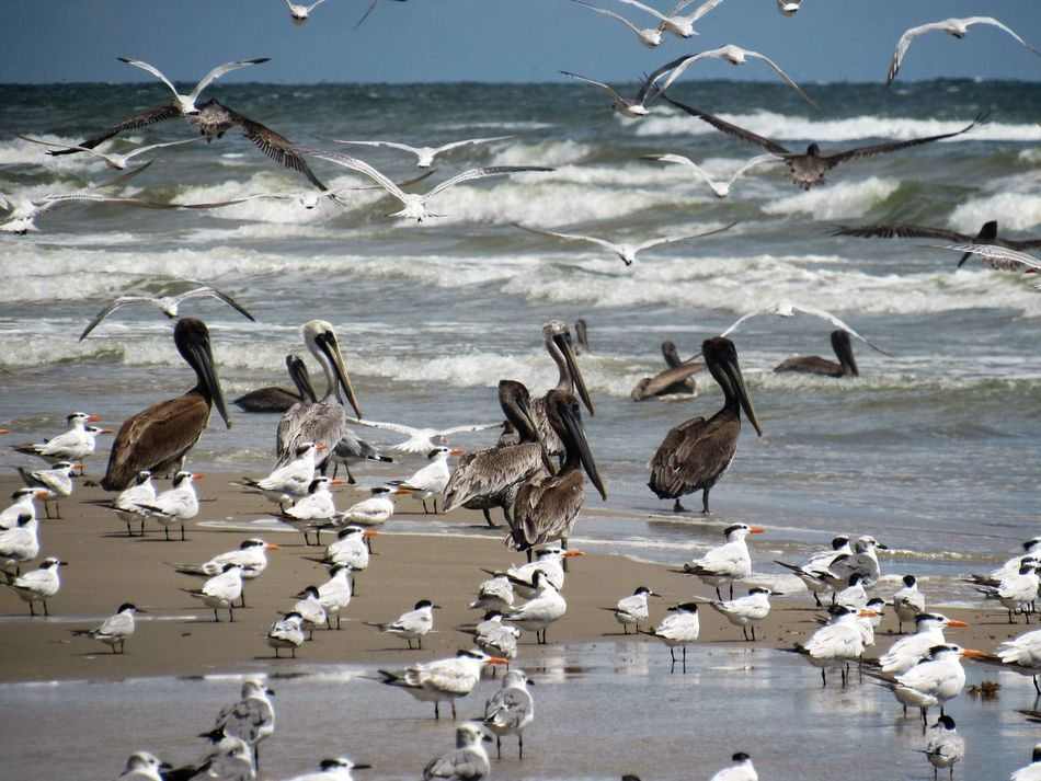 Birds on the Surf Brown Pelicans Flying High Group Of Birds Laughing Seagulls Ocean View Ocean Waves On Shore Remote Island Standing Still