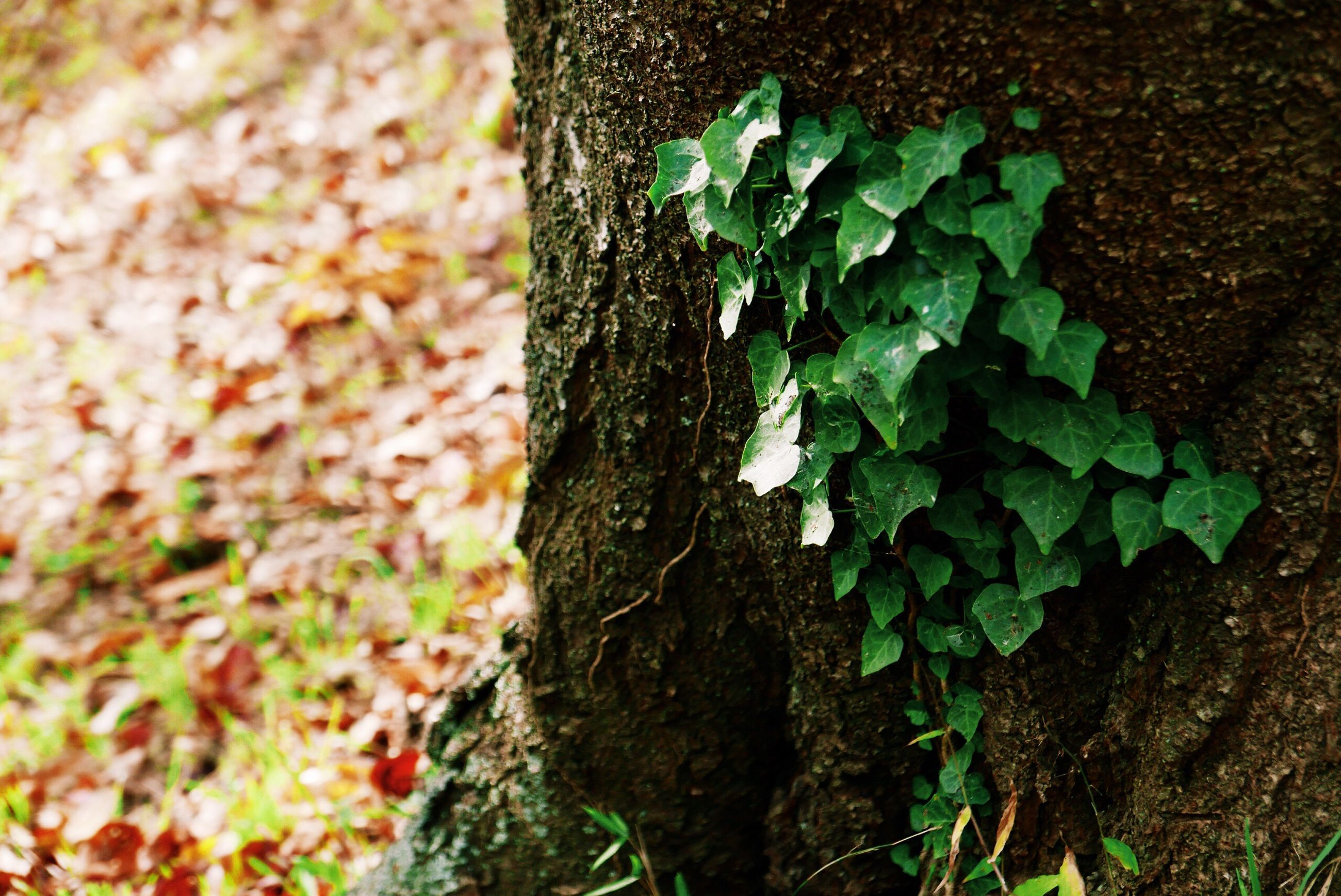 tree trunk, textured, tree, growth, nature, bark, rough, close-up, fungus, day, ivy, outdoors, no people, lichen, green color, leaf, beauty in nature, plant