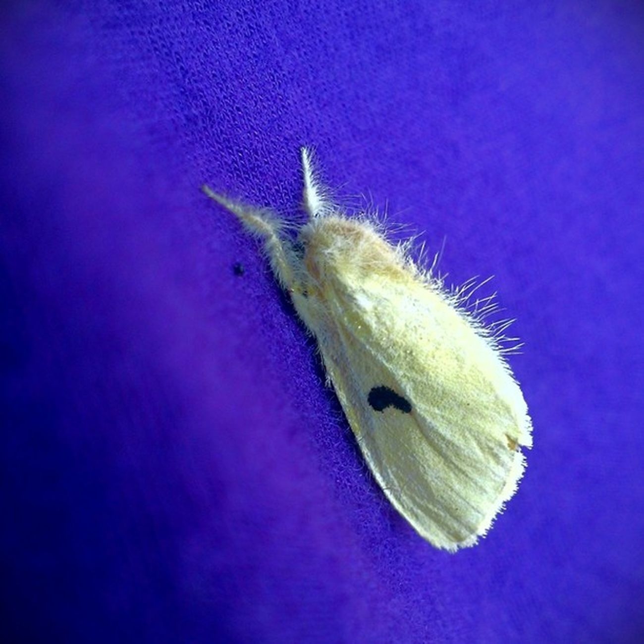 ลอกคราบ แมลงอะไร Slough off Moth Bug Butterfly Violet Htc8x Picoftheday