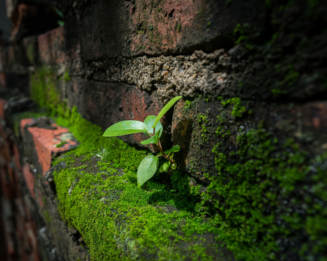 a new grow of banyan tree on the brick wall Beauty In Nature Beginnings Brick Wall Close-up Freshness Green Color Growth Leaf Moss & Lichen Nature No People Outdoors Plant Small Banyan Tree Small Tree Sprouts