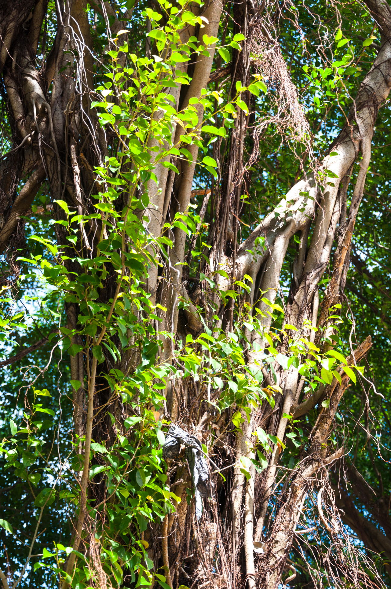 Branches of banyan tree with roots pattern Banyan Banyan Tree Banyan Tree Roots Beauty In Nature Brown Day Forest Green Color Growth Leaves Nature No People Outdoors Plant Roots Roots Of Tree Tranquility Tree Tree Trunk