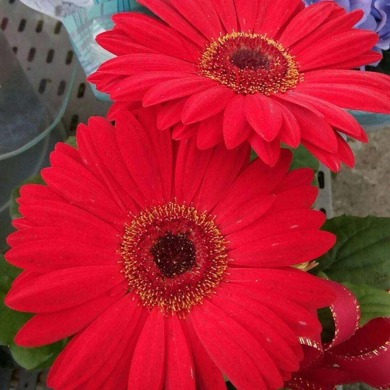 Flor Floriculture Flower Flower Head Petal Beauty In Nature Red Fragility Freshness Nature Plant No People Outdoors Day Close-up Springtime Growth Zinnia  First Eyeem Photo
