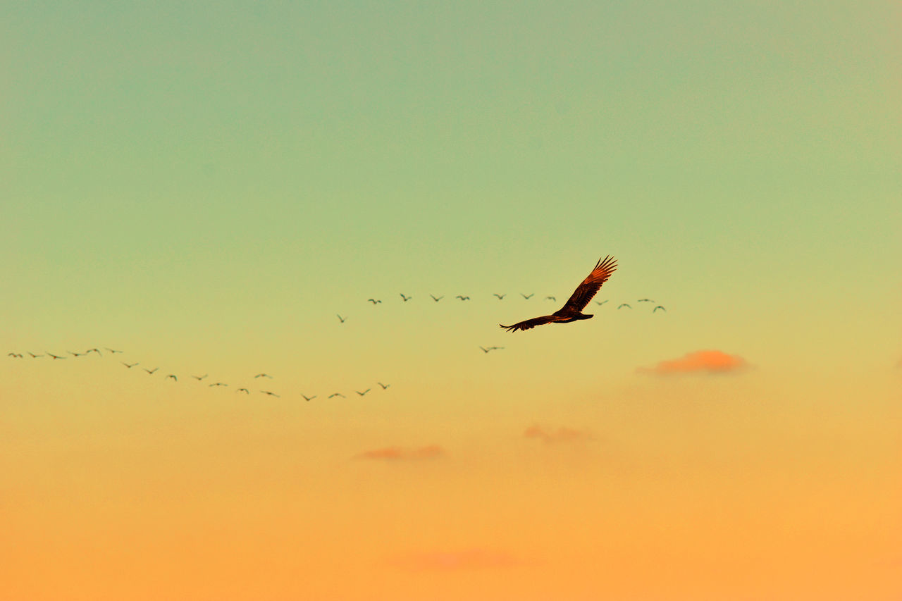 Animal Themes Animal Wildlife Animals In The Wild Beauty In Nature Bird Birds Flying In Formation Birds Flying In Sunset Day Flying Low Angle View Migrating Nature No People One Animal Outdoors Silhouette Sky Spread Wings Sunset