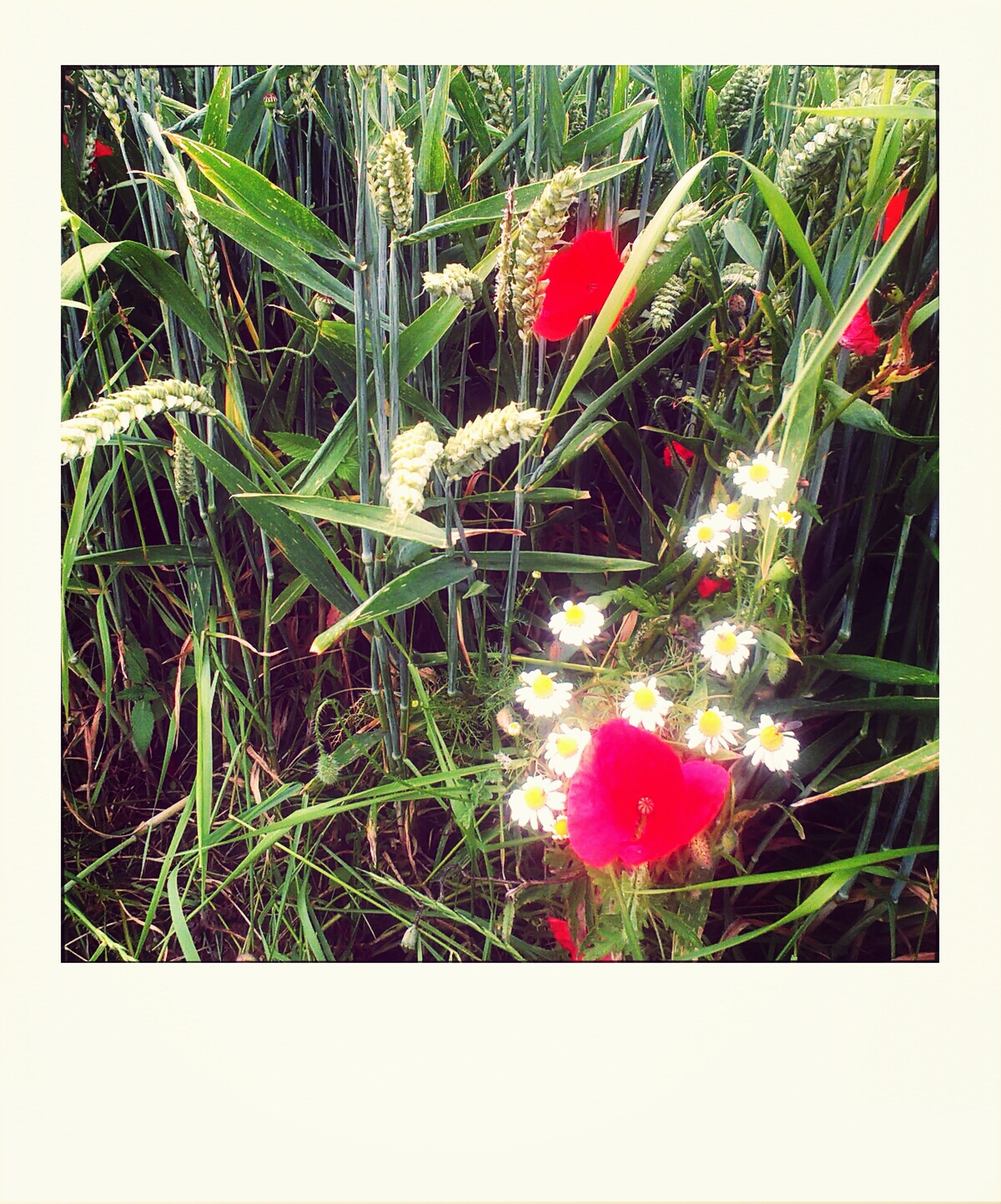 transfer print, flower, growth, plant, freshness, auto post production filter, fragility, beauty in nature, nature, petal, red, green color, close-up, field, grass, high angle view, flower head, leaf, blooming, pink color