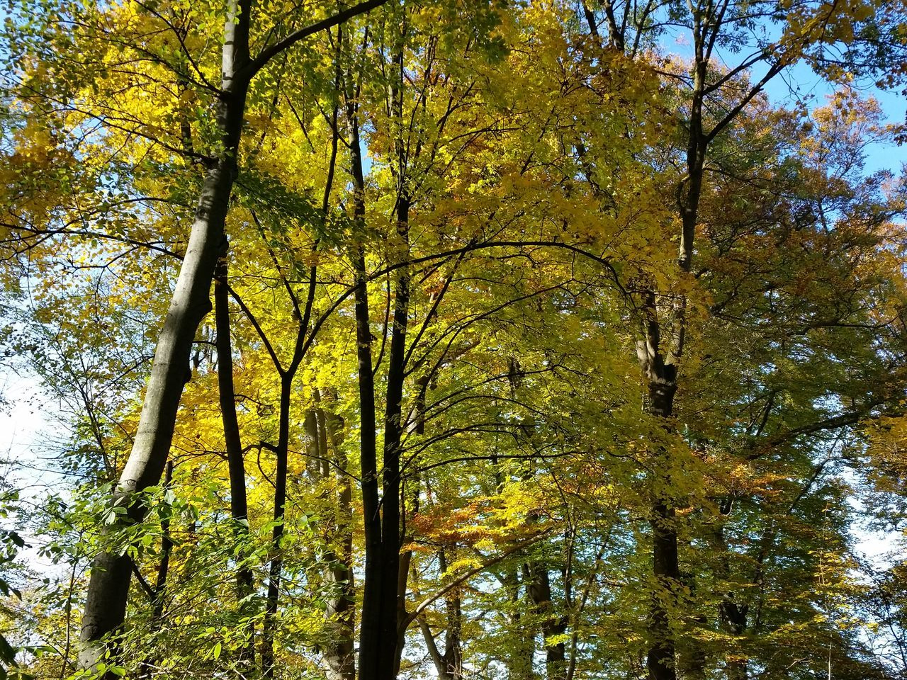 tree, autumn, nature, forest, beauty in nature, change, low angle view, leaf, tranquility, growth, day, branch, scenics, outdoors, tranquil scene, no people, tree trunk, sky