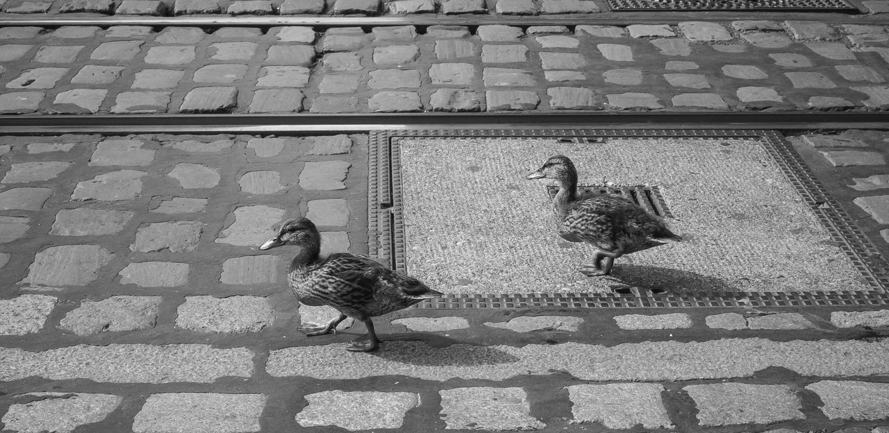 Animal Themes Bird Cobblestone Streets Day Ducks No People Outdoors Schienen Black And White Schienenstrang