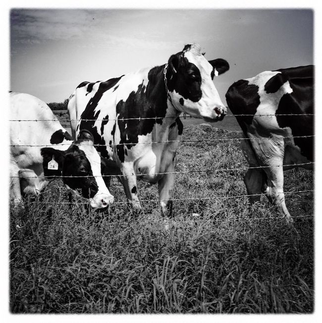 Cows Farm Rural Black And White Domestic Cattle Livestock Rural Landscape
