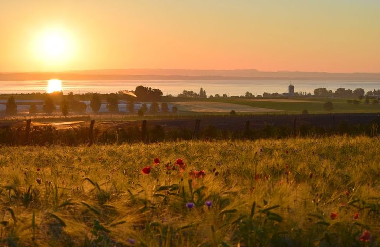 Sunset Field Nature Beauty In Nature Tranquil Scene Sun Growth Scenics Landscape Rural Scene Tranquility Orange Color Agriculture No People Outdoors Grass Plant Sky Sunlight Flower Bodenseebilder Bodensee Sonnenaufgang