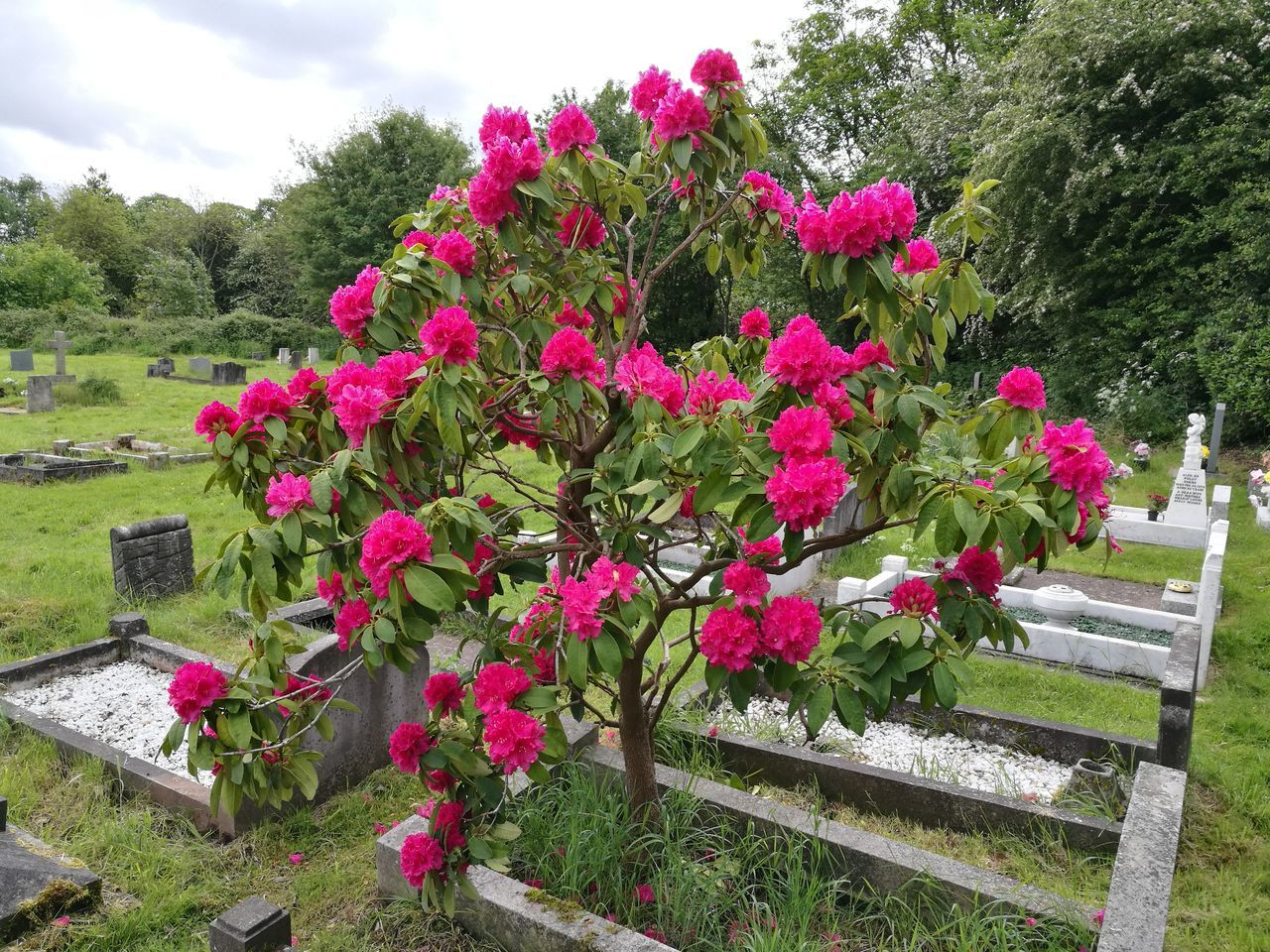 Flower Pink Color Plant Outdoors Nature No People Day Beauty In Nature Saint Michael Church Lichfield Graveyard Beauty