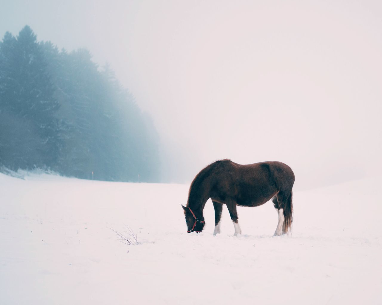 Side View Of Horse Grazing On Snow Covered Field During Foggy Weather