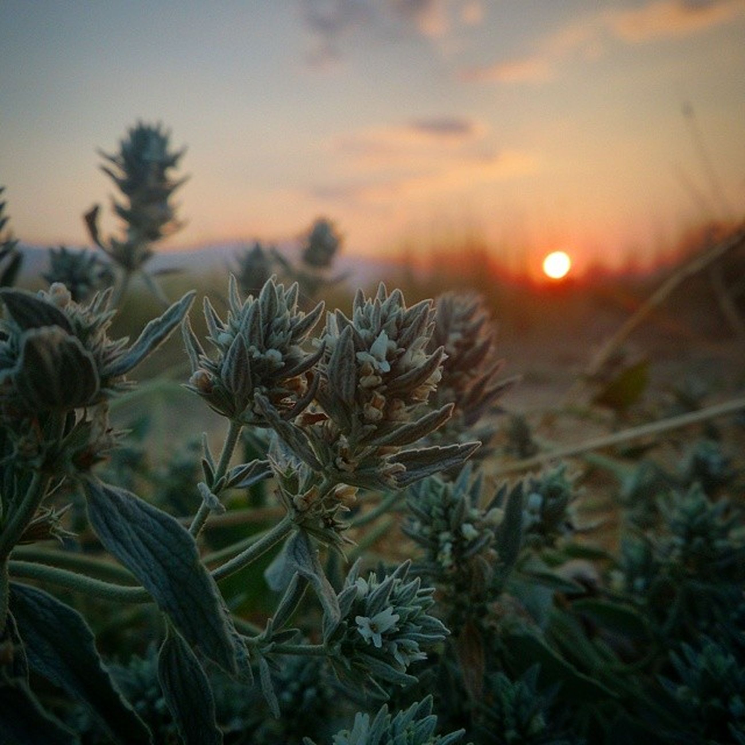 sunset, sky, growth, orange color, plant, nature, beauty in nature, sun, tranquility, focus on foreground, scenics, tranquil scene, close-up, field, sunlight, cloud - sky, outdoors, idyllic, stem, no people