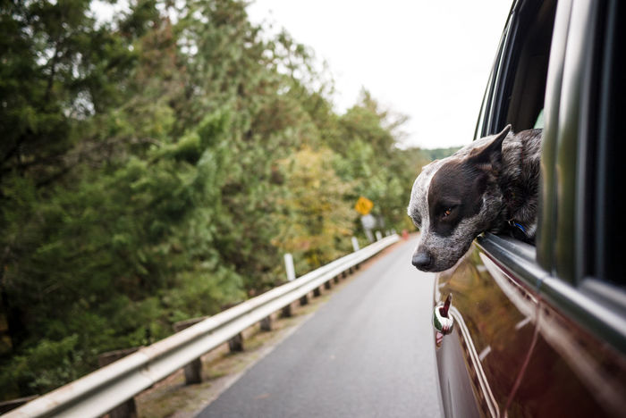 Road Trip, Dog's Life Cattledog Heeler Mammal No People One Animal Outdoors Roadtrip Transportation