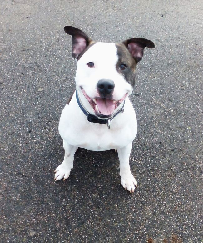 Staffy Staffylovers Staffybull Staffysofinstagram Staffysmile Staffyoftheday Staffygram Staffyuk One Animal Animal Themes Pets Dog Domestic Animals Portrait Looking At Camera Animal Head  Mammal Field Outdoors Looking No People
