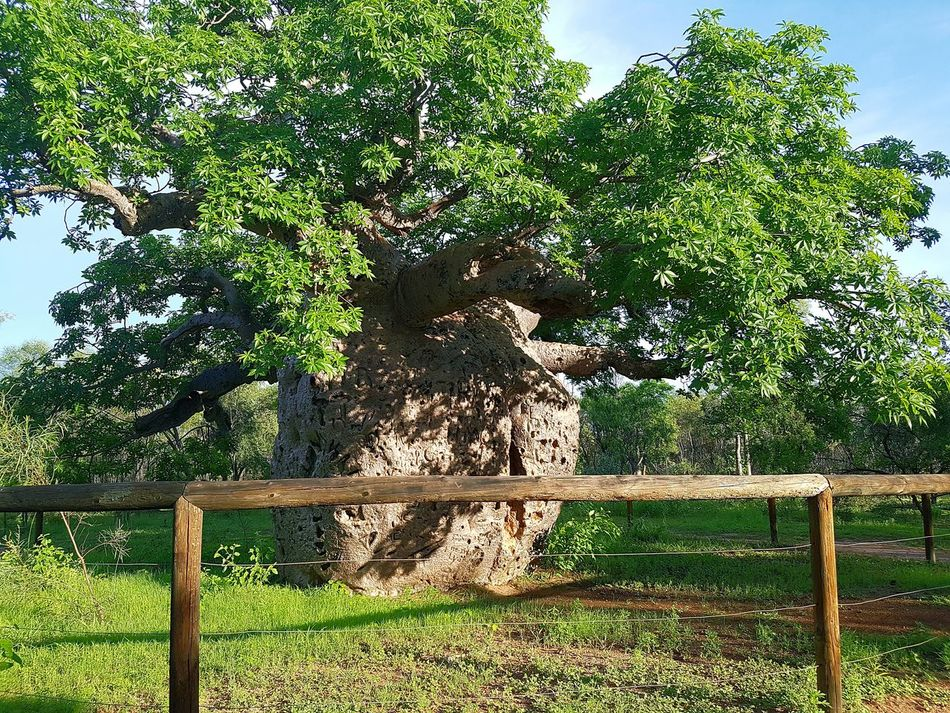 Mother nature at it's best Boab Tree Nature Outdoors Beauty In Nature Tree Day