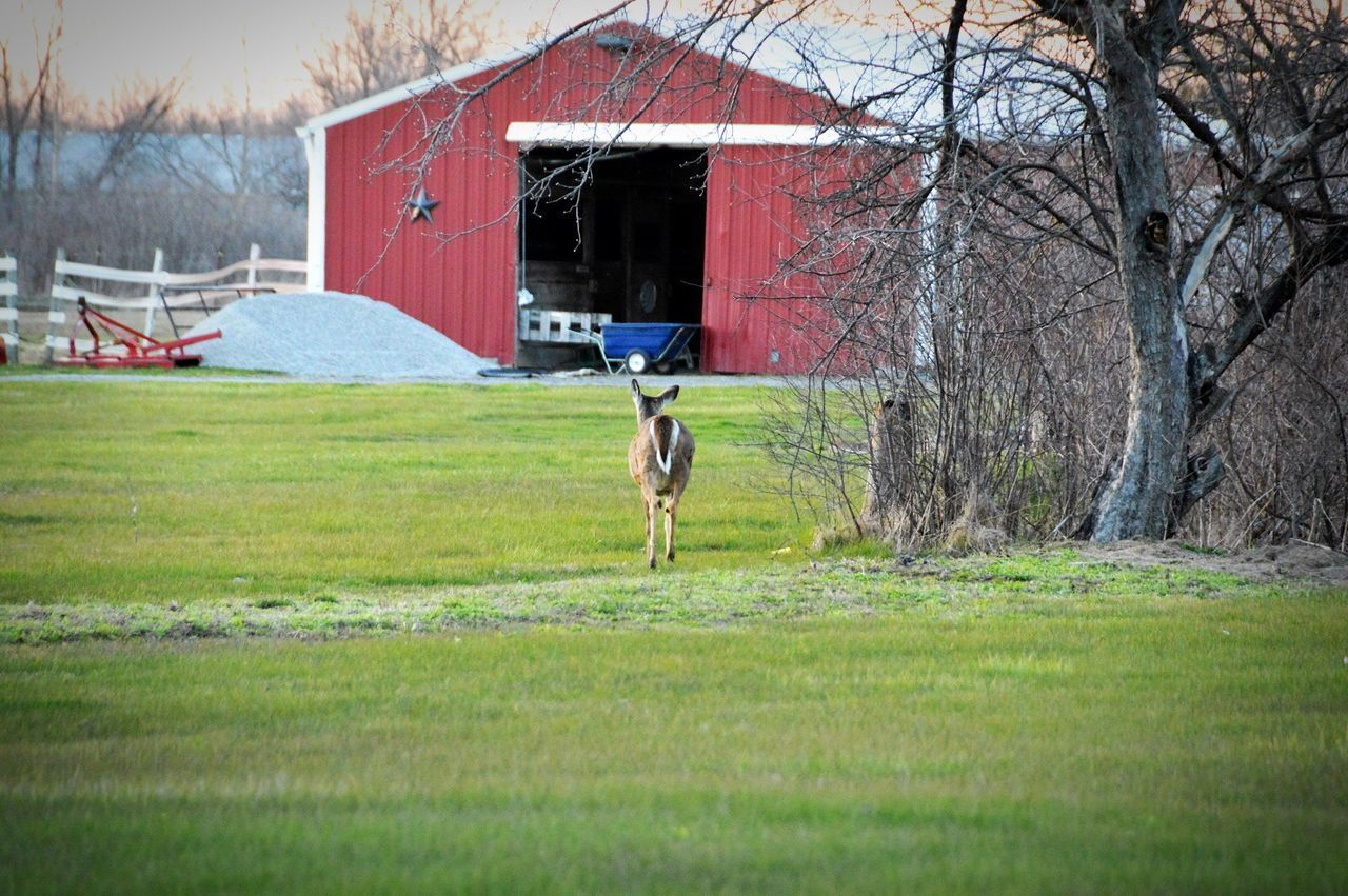 Grass Field Outdoors Nature Barn Farm Hometown Backyardphotography Deer Still Michigan Peaceful
