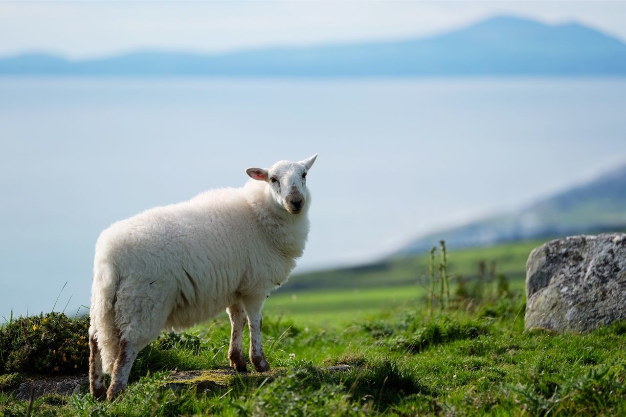 Portrait Portraiture Animal Farm Animals Sheep Seaside Farm Farm Sea View Field Fieldscape Seaside Seascape Wool Wooly Popular Popular Photos EyeEm Best Shots EyeEm Nature Lover Nature in Wales , United Kingdom MISSIONS: The Great Outdoors - 2017 EyeEm Awards The Portraitist - 2017 EyeEm Awards