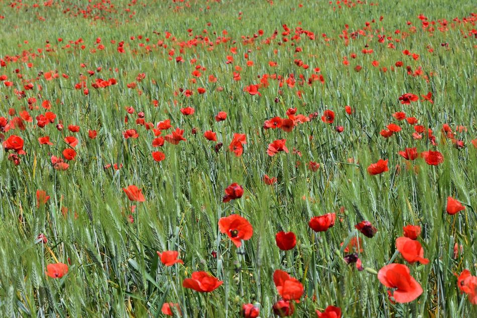 Spring Has Arrived Poppy Countryside Background Red Flower Growth Nature Field Beauty In Nature Plant Day Green Color Outdoors Freshness No People Fragility Flower Head Grass Close-up Exceptional Photographs Let's Do It Chic! EyeEm Best Shots Respect For The Good Taste